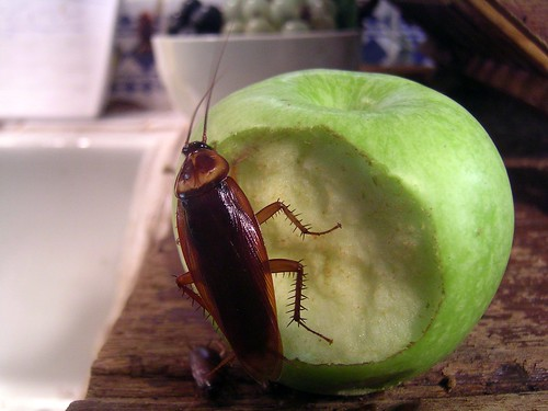 Cockroach on an apple