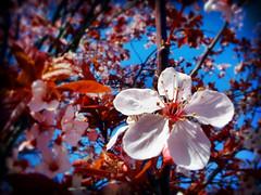 Spring Blossoms (Dave Ward Photography) Tags: 2005 pink flowers usa flower tree us washington spring lomo unitedstates blossom blossoms unfound bloom bellingham wa blooms whatcom davewardsmaragd