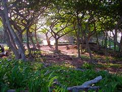Maui 5.27.2003 (Notley) Tags: 2003 trees color green hawaii maui hana 10thavenue notley ruralphotography notleyhawkins missouriphotography httpwwwnotleyhawkinscom notleyhawkinsphotography