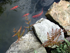 Ferns/Goldfish (pauly...) Tags: plant fern helecho nature outdoors goldfish amiko ferns greenplants helechos