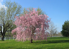 blooming cherry --Tennessee (Momba (Trish)) Tags: pink tree fence landscape spring blooms cherrytree bloomingtree japanesecherrytree interestingness172 i500 explore10apr2005 favoritegarden