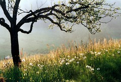 Idyll (Linda6769) Tags: mist flower grass sunshine germany season spring ast village sheep blossom hill flock meadow thuringia explore twig wildflower blte backlighting dandilion blooming schaf bloomingtree zweig hildburghausen blhend explored brden blhenderbaum