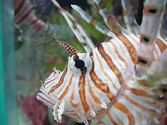 Fish Eye (Kymberlie R. McGuire) Tags: camera 15fav favorite fish macro topv111 catchycolors fantastic underwater sealife lionfish 110fav sonycybershot seacreature sonycybershotdscp71 photojunkietheme10