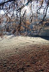 Leaves in sunshine (:Linda:) Tags: morning autumn winter sun tree sunshine backlight germany season frost branch village hoarfrost hill herbst thuringia autumnal raureif linde limetree lindentree hildburghausen herbstlich rauhreif brden lindenbaum