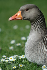 Daisy Goose II (frielp) Tags: claremont surrey england green neck daisy bird beak grass goose notaduck geese nikon d70 14tc 70200mm uk