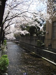 Kiyamachi Sakura (adam.rosien) Tags: japan 2005 kyoto kiyamachi sakura