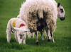 Sheep (Alicestronaut) Tags: countryside sheep shrewsbury april2005 lamb