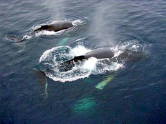 Whales (ae2005) Tags: antarctic antarcticexpedition icebergs