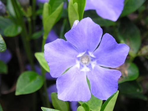 periwinkle vinca vine flower macro