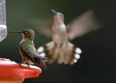 hb810065 (Household 6) Tags: hummingbirds bokehsoniceaugust bokehsoniceaugust11