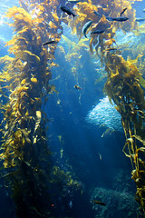 Kelp Forest (Ryan Fernandez) Tags: ocean fish aquarium monterey interestingness underwater kitlens wideangle aquatic 18mm canon30d p1f1