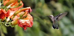 humming bird- docking procedure (Khushroo Ghadiali) Tags: park new city flowers blue light summer sky food orange usa flower color tree green bird nature station animal topv111 clouds canon garden geotagged mexico fun fly flying photo wings dock topv333 day space tail feathers helicopter shuttle beat nectar humming hovering hover docking topvaa mireasrealm specanimal