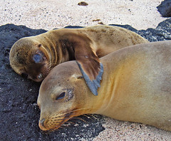 Chillin with mom (ScottS101) Tags: ocean baby nature ilovenature mammal island ecuador wildlife mother darwin evolution galapagos sealion nurture biology allrightsreserved offspring pinniped ilovetheocean impressedbeauty copyrightscottsansenbach2008
