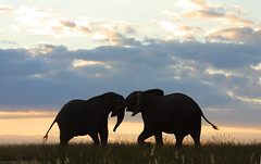 Dust-up at Dusk (Wildcaster) Tags: africa elephant nature wildlife dumbo conservation safari elephants jumbo krugernationalpark tusks africanelephant southernafrica tusker cites malamala loxodontaafricana africanwildlife phylumchordata kingdomanimalia classmammalia wildlifeconservation wildcasting greatlimpopotransfrontierpark wildlifedocumentary wildlifeeducation orderproboscidea familyelephantidae genusloxodonta wildcastselect