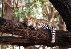 24 hours to live. . (dhlow) Tags: africa kenya leopard samburu