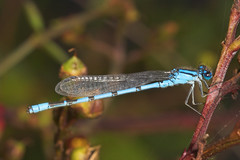 "Common Blue Damselfly (enallagma cythigerum) • <a style=""font-size:0.8em;"" href=""http://www.flickr.com/photos/57024565@N00/237593171/"" target=""_blank"">View on Flickr</a>"