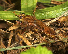 """Robber Fly (Asilus crabroniformis) • <a style=""""font-size:0.8em;"""" href=""""http://www.flickr.com/photos/57024565@N00/237613410/"""" target=""""_blank"""">View on Flickr</a>"""