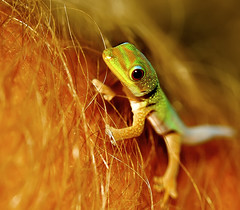Walkin' On Hair (Bill Adams) Tags: me hawaii gallery arm getty gecko animalplanet waikoloa babyanimal armhair babygecko kakadoochoice madagascardaygecko