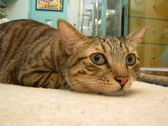 EPSN7493 (jacky elin) Tags: cats brown cat mix tabby jacky