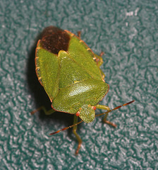 "Green Shield Bug (Palomena prasina)(4) • <a style=""font-size:0.8em;"" href=""http://www.flickr.com/photos/57024565@N00/244583051/"" target=""_blank"">View on Flickr</a>"
