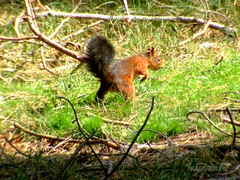 red squirrel DSCF3114a (hedgerowmobile) Tags: red mammal squirrel mammals mammalia vulgaris sciurus placentalia