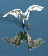 """I LOVE MY WINGS!"" (jcowboy) Tags: blue summer white reflection bird heron nature birds animal animals japan fauna reflections ilovenature outdoors wings pond bravo asia searchthebest wildlife wing 2006 ponds egret ornithology animalplanet okazaki herons egrets wildanimals wsr featheryfriday birdphoto calendarshots outstandingshots specnature animaladdiction specanimal animalkingdomelite abigfave outstandingshotshighlight"