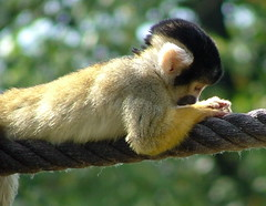 London Zoo - Black capped Squirrel Monkey - September 18th 2006 (law_keven) Tags: africa park flowers wild plants cats holiday london alpaca nature water birds animals zoo monkey penguins flying toucan sheep spiders snake farm wildlife llama butterflies ducks goat insects bugs lizard entertainment goats lions environment monkeys creatures snakes lizards beasts reptiles vaction butterflys mamals