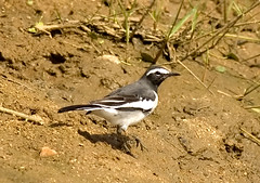 White-browed Wagtail (The World Through My Eye) Tags: nikond70 whitebrowedwagtail manchinabele motacillamadaraspatensis nikon300mmf4