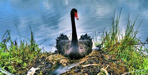 Black Swan O' Death