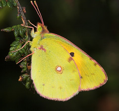 """Pale Clouded Yellow Butterfly (Colias(1) • <a style=""""font-size:0.8em;"""" href=""""http://www.flickr.com/photos/57024565@N00/248933845/"""" target=""""_blank"""">View on Flickr</a>"""