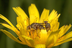 """Mating Flies(1) • <a style=""""font-size:0.8em;"""" href=""""http://www.flickr.com/photos/57024565@N00/248957005/"""" target=""""_blank"""">View on Flickr</a>"""