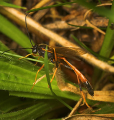 """Ichneumons wasp • <a style=""""font-size:0.8em;"""" href=""""http://www.flickr.com/photos/57024565@N00/248991199/"""" target=""""_blank"""">View on Flickr</a>"""