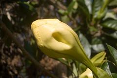 IMGP1914 golden chalice (RaeAllen) Tags: flower geotagged farm bud maxima tolga pc4882 solandra solandramaxima goldenchalice geolat171894 geolon1454984