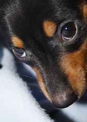 Look Into My Eyes (~Darin~) Tags: baby black cute beautiful look puppy nose eyes soft tan adorable dachshund babygirl precious daisy pup upclose weiner minidachshund doxie weinerdog carquestguy abigfave anawesomeshot