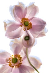 Anemone Japonica 4 (Harold Davis) Tags: harolddavis anemone crossprocessing photogram anemonejaponica digitalphotogram