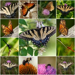 Butterflies and other winged insects (MNesterpics) Tags: nature topv111 butterfly bug insect fdsflickrtoys topv555 topv333 dragonfly mosaic wildlife topv999 insects 2006 bugs bee topv777 odonata impressedbeauty