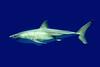 Great White (Heather Leah Kennedy) Tags: california white animal aquarium bay shark monterey great animalplanet greatwhite whiteshark specanimal animalkingdomelite
