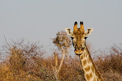giraffa in Hwange park -Zimbabwe - by Sbrimbillina