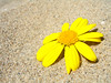 upon the beach (ansy) Tags: flower beach floral yellow petals sand beaches lookatme kiss2 kiss3 kiss1 kiss4 kiss5