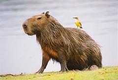 Capibara (hvhe1) Tags: nature brasil ilovenature rodent wildlife wetlands pantanal capivara hennie capibara animalkingdomelite abigfave hvhe1 hennievanheerden