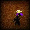 things to do: 1 must get my flowershot (kiplingflu) Tags: flowers shadow sun white flower ilovenature sand violet favme ombre bloem e500 i500