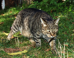 Domisia (arjuna_zbycho) Tags: pet cats pets cute animal animals cat austria sterreich kitten feline chat felix kitty kittens gato katzen haustier kater niedersterreich tier rakousko hauskatze domisia