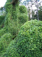 Kudzu photo by chapstickaddict@flickr.com