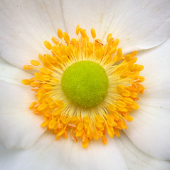 My world for a moment (cattycamehome) Tags: white flower macro green yellow tag3 taggedout petals tag2 all tag1 quote centre  rights stamen pollen anenome reserved centrepoint catherineingram georgiaokeeffe october2006 cattycamehome allrightsreserved