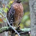 Red-shouldered Hawk By Jack Bird