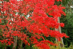 Fall colors.... (tollen) Tags: autumn red fall colors beautiful leaves automne ilovenature maple acerpalmatum