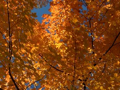 Gorgeous Fall Colors (Joe Shlabotnik) Tags: 2005 autumn sky orange november2005 tree fall leaves maple princeton myfave faved abstractarty heylookatthis