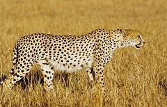 My favorite animal (Délirante bestiole [la poésie des goupils]) Tags: kenya masaïmara africa afrique mammals mammal park mammifères animaux animals guépard cheetah specanimal animalkingdomelite ilovenature wild borntobewild eos1 160vc