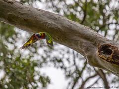 Wildlife-114518 (Life is so Short) Tags: birds rainbowlorikeet