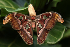 Attacus atlas (K.Verhulst) Tags: atlasvlinder atlasmoth attacusatlas vlinders vlindertuin vlinder emmen wildlandsadventurezoo wildlands moth insect butterfly